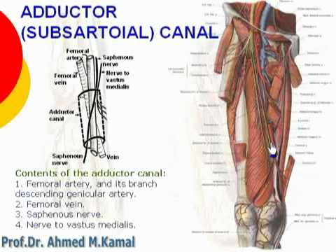 69 L Limb Adductor Subsartorial Canal Cxt Youtube