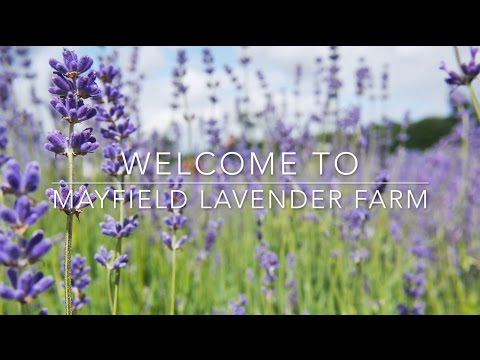 Mayfield Lavender Farm UK, England - 1080p HD