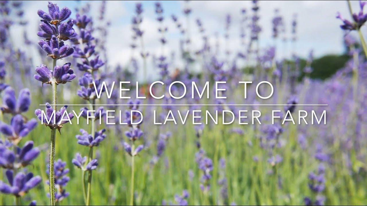 Britain's loveliest lavender fields   VisitBritain