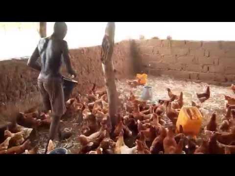 Ferme Tadisu : Nourrissage des  poules pondeuses