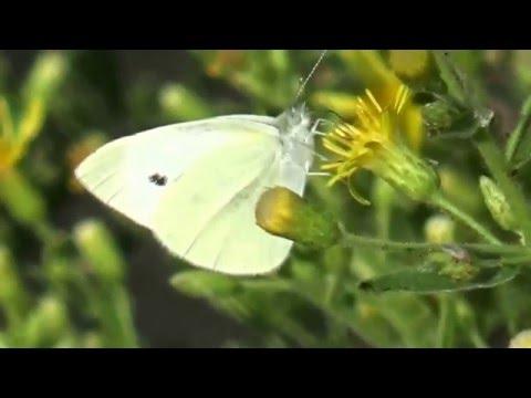 פרפר לבנין הצנון Small White (Pieris rapae)