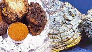중년 면역력 올리고 건강 지키는 '상황버섯' (건강 대…