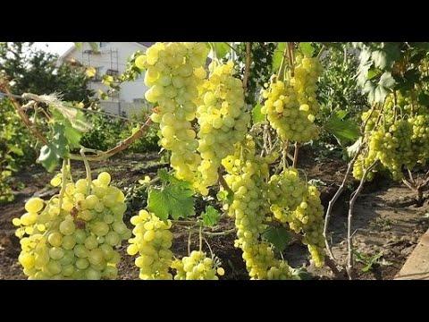 Виноград на Северо-Западе. Формируем Правильно Лозу.