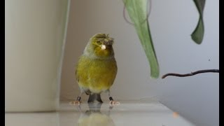 Canary singing, bird sing song, gloster with a crown Śpiew kanarka - Groszek Best Video to Traning
