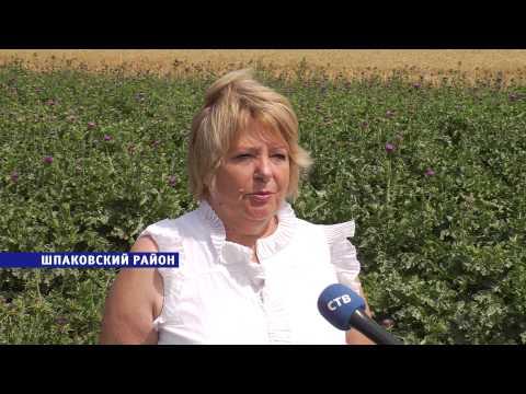 Выращивание расторопши из семян
