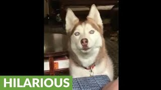 Owner pleads with vocal husky for short break