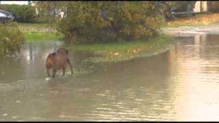Raw: Salmon Swimming Upstream on Road