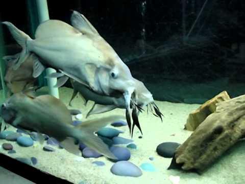 Ikan Synodontis - Upside Down Catfish