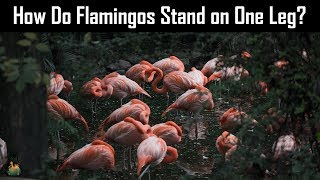 How Do Flamingos Stand on One Leg?
