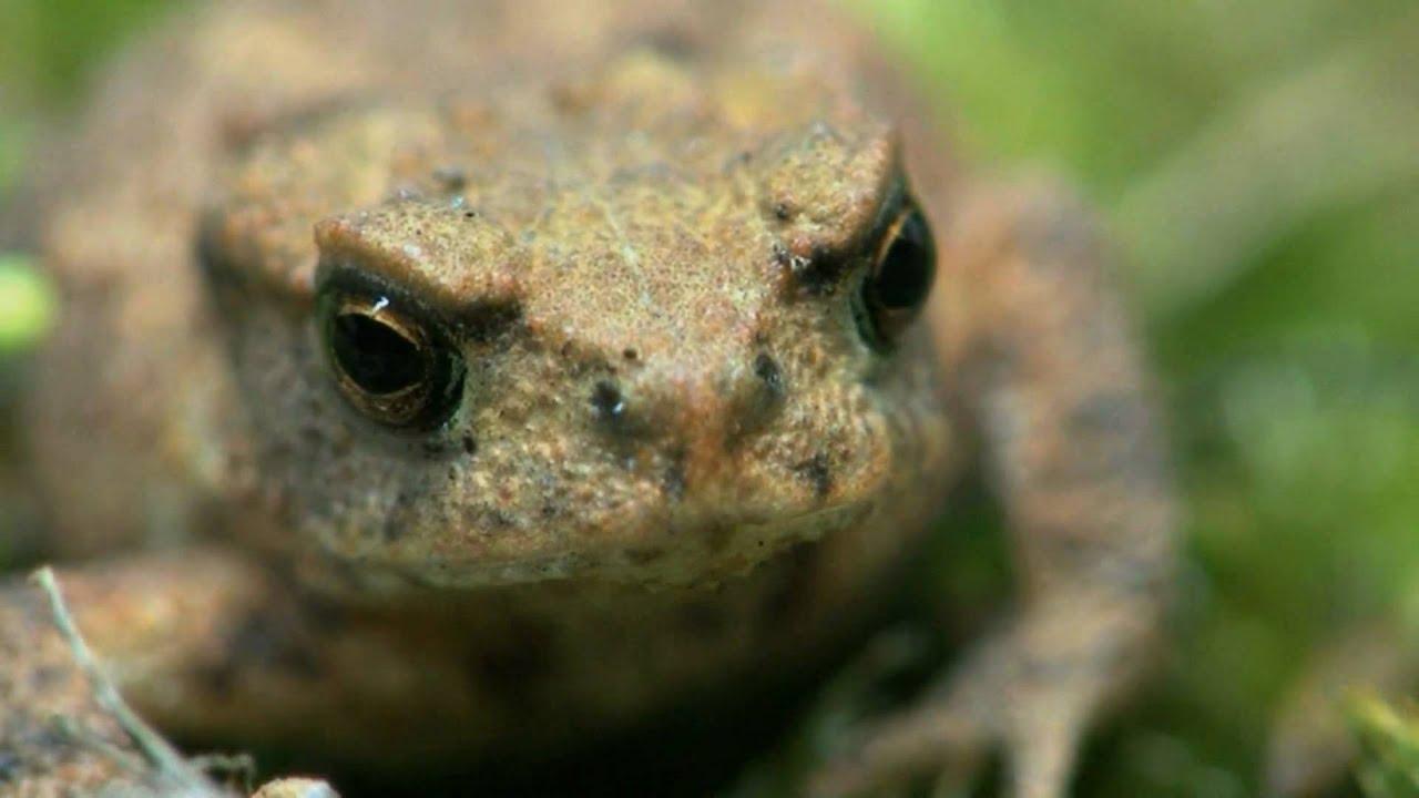 Kröte trifft Lederlaufkäfer - Load meets Ground beetle - YouTube