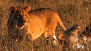 Лев и Тигр получается Лигр / Lion and Tiger turns liger(Лигры встречаются чаще, чем тигоны. Они имеют шерсть оранжево-золотистого окраса с полосами на спине и по..., 2013-07-12T10:48:38.000Z)