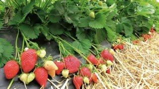 Выращивание клубника под пленкой | Интересная технология выращивания |(Выращивание ягод как бизнес. Интересная технология выращивания клубники, обмен зарубежным опытом. Техноло..., 2016-06-15T09:32:55.000Z)