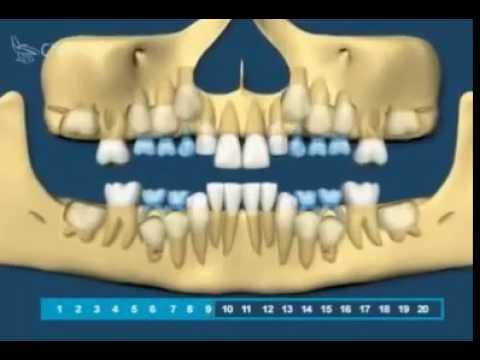Рост зубов у детей от 1 года до 3 лет, рост зубов у детей