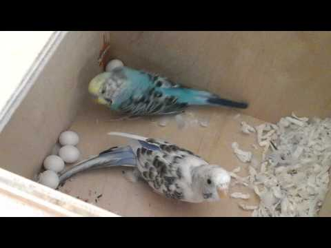 Parakeets Beauty and Skittles with Eggs. Episode 1: Introduction