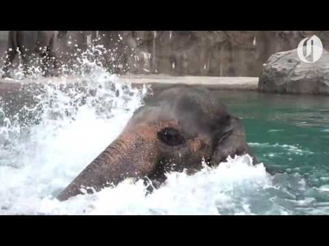 Oregon Zoo elephant Samudra enjoys a swim