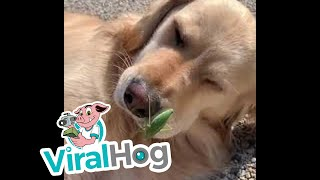 Golden Doggo Befriends Summer Bug || ViralHog