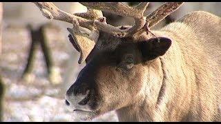 Более 460 тысяч животных привиты от сибирской язвы на Ямале
