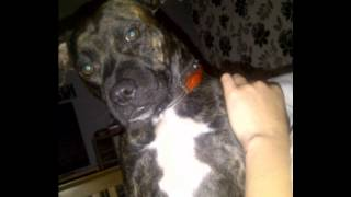 Staffordshire Bull Terrier Blue & Brindle
