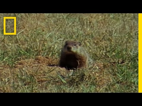 Groundhog Forecasters | National Geographic