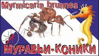 Муравьи Myrmicaria brunnea. Муравьи коники, муравьи лошадки