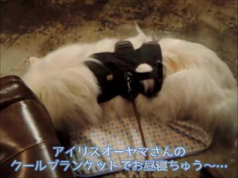 #25 『気がつけば1周年♪』 | サモエド クローカのモフモフ日記 | 犬といっしょ | アイリスペットどっとコム
