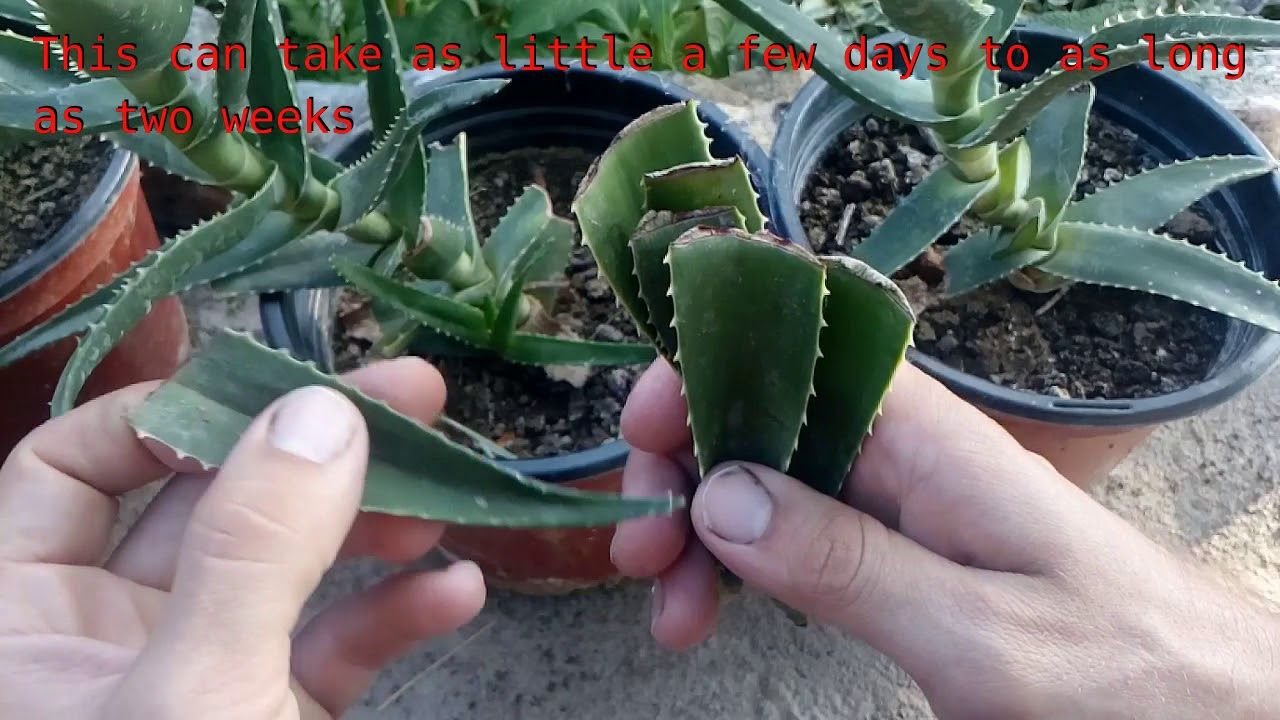 how to grow aloe vera from single leaf 100 root youtube. Black Bedroom Furniture Sets. Home Design Ideas
