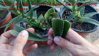 How to grow Aloe Vera from single leaf 100% root