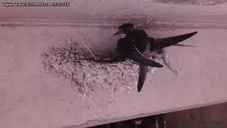 2回目の産卵が近いんでしょう。 前日までは巣で寝泊まりさせていたヒナ...
