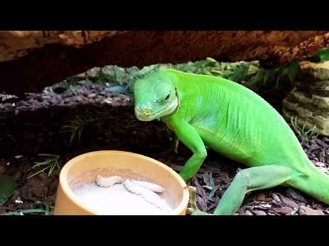 Fiji Island Iguana Feeding on Wax Worms at Repti.store