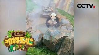 [正大综艺·动物来啦]判断题:在冬天大熊猫会通过泡温泉的方式来取暖| CCTV