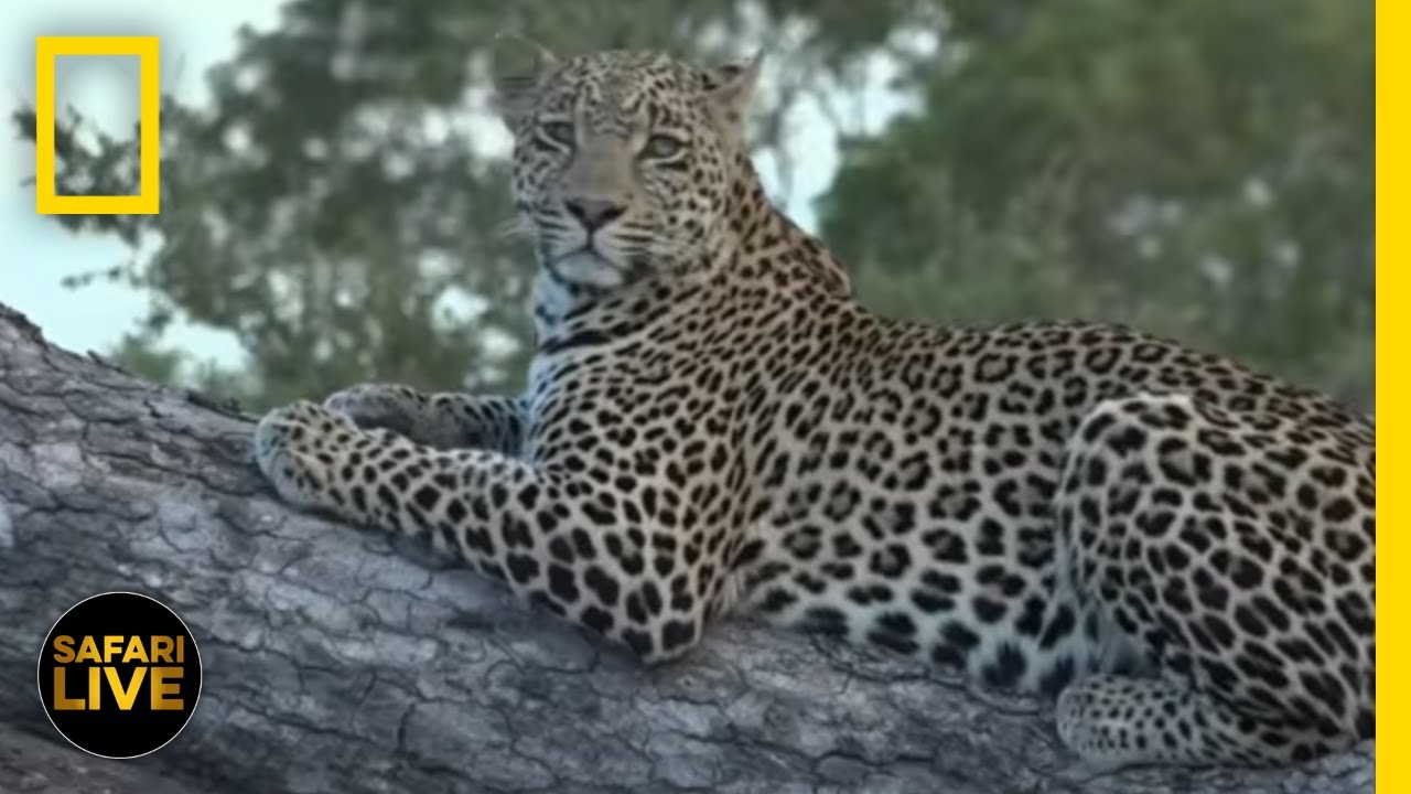 Safari Live - Day 242 | National Geographic