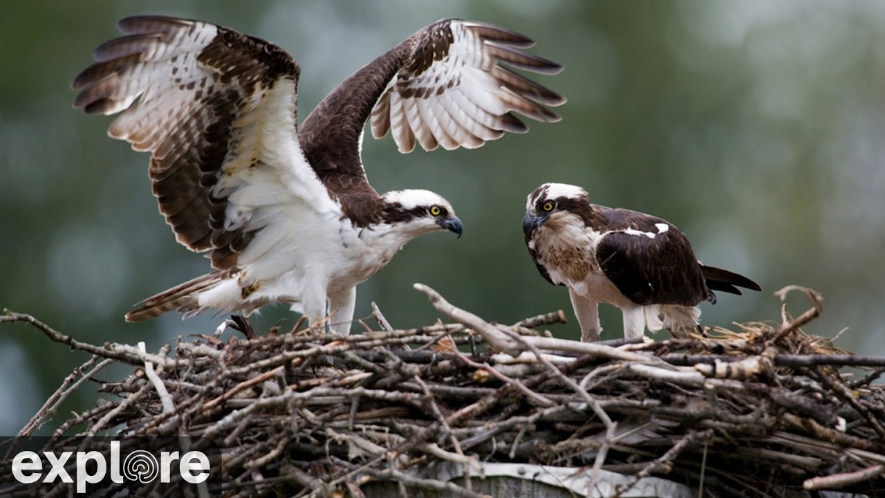 Charlo Montana Osprey Nest power by EXPLORE