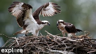 Charlo Montana Osprey Nest power by EXPLORE thumbnail