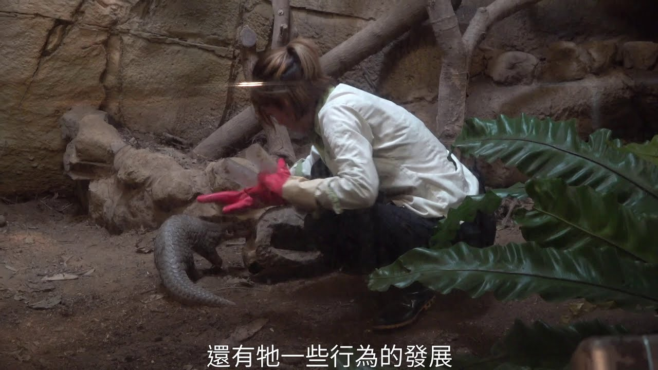 How Does Taiwan Rescue Pangolins, a Species Almost Impossible to Treat in  Captivity? - 報導者The Reporter