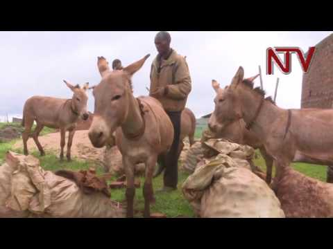 Residents in Kween are grappling with the theft of their donkeys