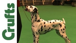 Crufts 2012 - Dalmatian Best Of Breed