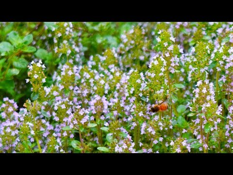 In Shakespeare's Garden: A Brief History of Thyme