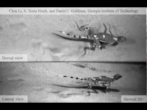 Zebra-Tailed Lizard Running on Granular Media