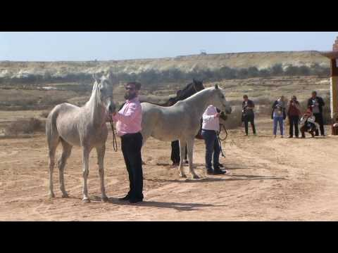 Memories of Bahrain - Part 5 - Royal Arabian Stud of Bahrain