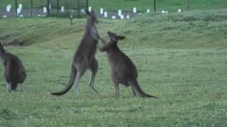 Dzikie kangury / Wild kangaroos / Grampians National Park, Australia