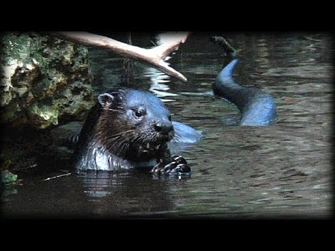 River Otters vs Alligators 03 Music