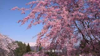 信州の桜巡りNo1・4K撮影