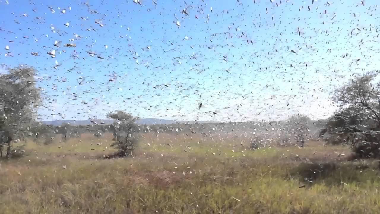 Locust crisis in Madagascar - YouTube