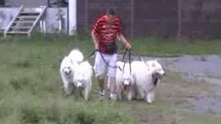 4 Samoyeds.