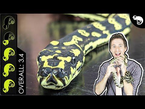 Carpet Python, The Best Pet Snake?