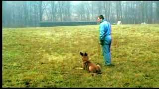 Belgian Malinois Training - Obedience