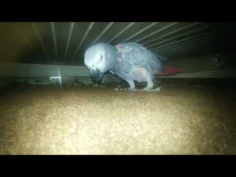 African Grey Parrot had first egg at 29 years old