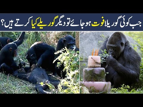 Gorilla Animal Facts For Kids In Urdu | Animal Facts | Amazing Animals | Shan Ali TV
