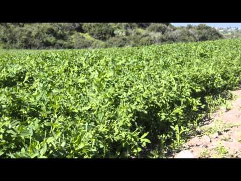Чечевица, семена и - chudo-