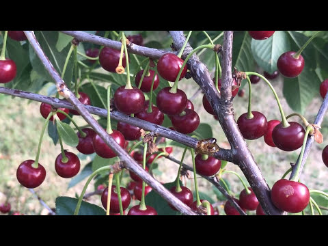 Cherry Tree In Container Growing Cherries 2017